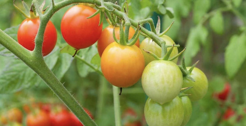 Faire Pousser Tomates En Pot conseils pour débutants pour cultiver de délicieuses tomates
