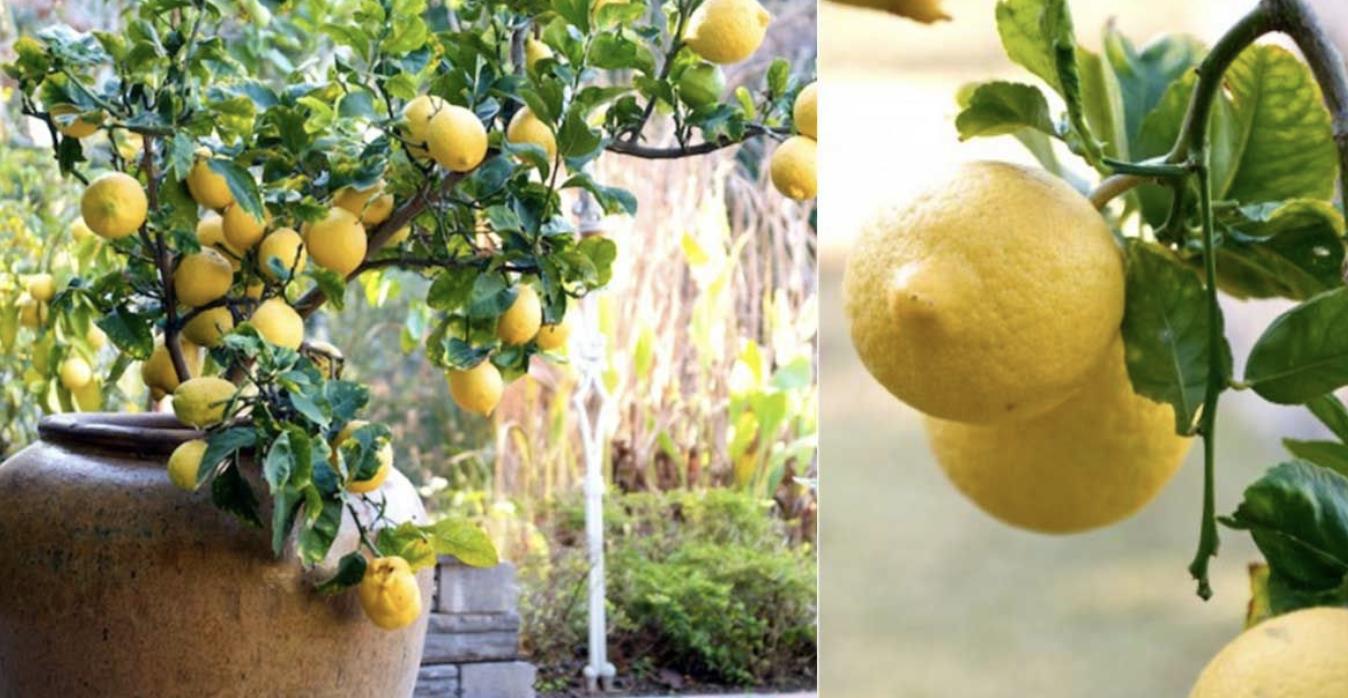 Comment Cultiver Un Citronnier En Pot voila comment faire pousser un citronnier dans un pot