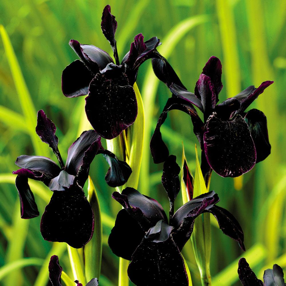 voici 10 variétés de Fleurs noires naturelles à planter ...